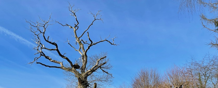 Withered treetop in front of a blue sky